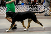 Greater Swiss Mountain Dogs- Sunday March 15, 2015- Celtic Cluster- York, PA