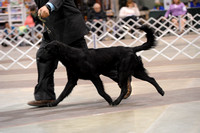 Flat Coat Retrievers- Sunday March 15, 2015- Celtic Cluster- York, PA