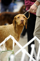 Wire haired Vizslas- Sunday March 15, 2015- Celtic Cluster- York, PA