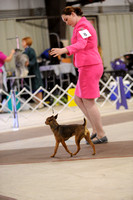 American Hairless Terrier- Misc Class- Open Show- Nov 28, 2015- West Friendship, MD
