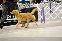 Nova Scotian Duck Tollers- Sunday March 15, 2015- Celtic Cluster- York, PA
