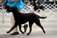 Curly Coated Retrievers- Sunday March 15, 2015- Celtic Cluster- York, PA