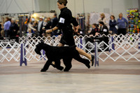 Giant Schnauzers- Sunday March 15, 2015- Celtic Cluster- York, PA