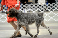 Wirehaired Pointing Griffon- Sunday March 15, 2015- Celtic Cluster- York, PA
